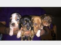 I have 4 male AKC registered mini dachshund puppies.