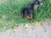 One dapple mini dachshund male for sale. He was born on