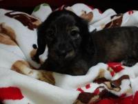 AKC Mini Dachshund puppies 4 lady's. Born October 19