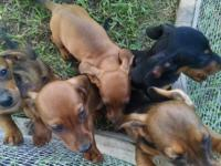 AKC Mini Dachshund Puppies 4 Males 1 Female : 2 Red