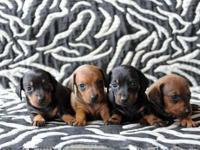 We have four precious mini Dachshund puppies who are