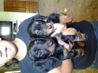 I have 3 mini dachsunds left. 2 males 1 female 1blue
