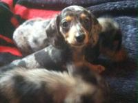 CKC Registered Mini Dachshunds for sale! They are up to