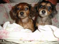 Beautiful long hair silver dapple mini dachshunds.