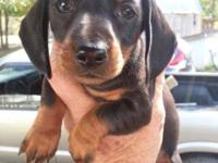 Mini Daschund Puppies. DOB 10/03/15. Vet Checked, Both