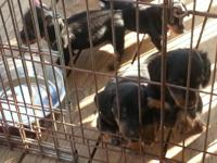Mini Daschund Puppies (weenier dog) DOB 02/01/2014, Vet
