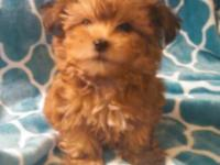 Mini Designer SHORKIE Puppies (Yorkshire Terrier / Shih
