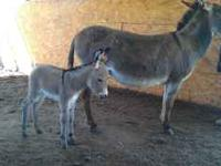 young donkeys Classifieds - Buy & Sell young donkeys across the USA