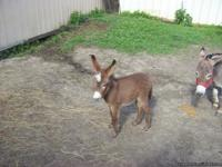 I have a big assortment of Mini Donkeys for Sale.