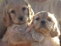Our Mini Doodle dogs are a delightful cross between the