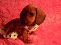 Mini Dachshund Puppy!!! Female, long floppy ears and