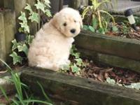 I have MINI English Goldendoodles (F2b) ready for their