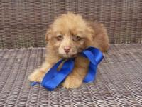 Mini Aussie Doodle Puppies. Male available. Mother is a