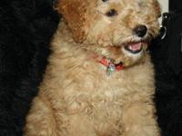 Beautiful little female F1b Mini size Goldendoodle