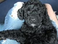 I have a beautiful male mini goldendoodle. He has been
