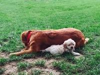 I have one very loving male mini f1b goldendoodle for