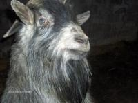 i have a mini billy goat (smaller then pygmy)he is 4