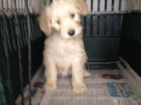 Mini Golden Doodle puppies, 3 females and 1 male, 8