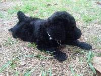 F1 mini goldendoodle. He is black, med curls and cute