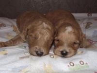 Red and White Mini F1 Goldendoodle are here. Mom is 65