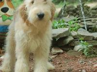 Absolutely adorable male goldendoodle, cream/apricot,