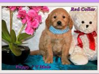 Mini-GoldenDoodle F1 Puppies available to loving