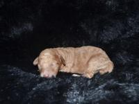 F1B Mini goldendoodle puppies are here !! Both mom and