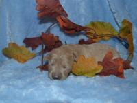 F2 Mini Goldendoodle Puppies. Mommy is 18 pounds and