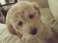 Mini F1b Goldendoodle Female. This puppy will be avg 25