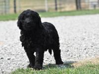 Bloomie is a gorgeous mini F1 Goldendoodle girl