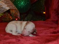 Mini Goldendoodle puppies F2. Deposits are been taken