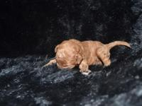 F1B Mini goldendoodle puppies are right here !! Puppies