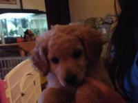 Two beautiful female mini F1bb goldendoodles available.