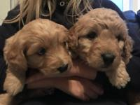 Our Mini Goldendoodles are now looking for their