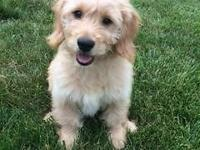 Mini Goldendoodle puppy for sale. 14 week old male