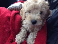 9 wk old mini toy goldendoodle F2B young puppy. Dark