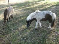 Beautiful mini horses available as pets or for children