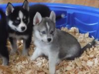 Animal Type: Dogs Breed: Siberian Husky We have 5