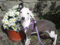 Beautiful, sweet, loving little mini Italian greyhound