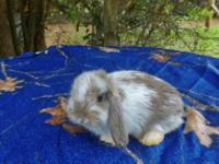 Animal Type: rabbits I have 4 mini lops for sale. 9