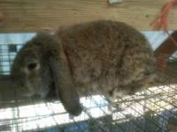 1 purebred Mini Lop bunny ready to go. Chinchilla