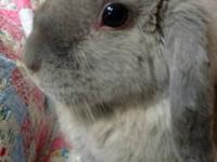 Mini - Lop - Claire - Medium - Adult - Female - Rabbit