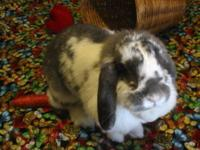 Mini - Lop - Gracie - Large - Adult - Female - Rabbit