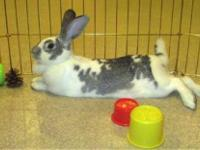 Mini - Lop - Ivy - Medium - Adult - Female - Rabbit