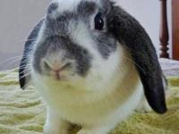 Mini - Lop - Lucy - Medium - Young - Female - Rabbit