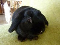 Mini - Lop - Oreo - Medium - Young - Male - Rabbit With