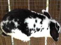 We have five adult female rabbits, all proven breeders,
