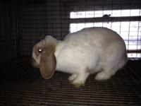 I have two mini lop bunny rabbits that are full grown.