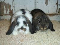 beautiful Mini Lop Babies FOR SALE. Various ages and