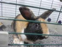 Mini - Lop - Sterling - Medium - Young - Male - Rabbit